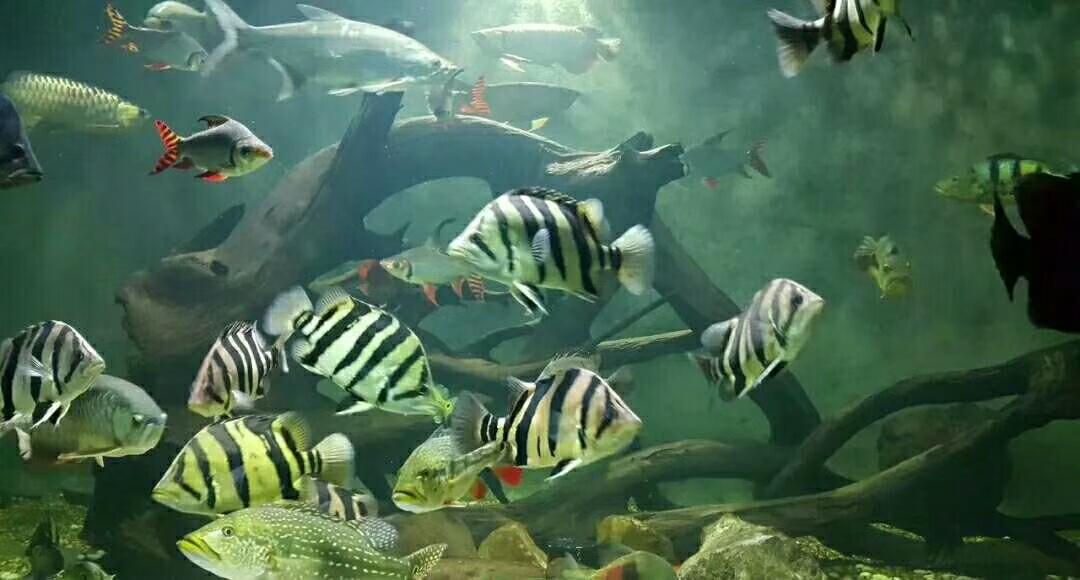 沈阳黄金大帆鱼如何及时发现会造成鱼得病的隐患避免鱼得病 沈阳水族批发市场 沈阳龙鱼第12张