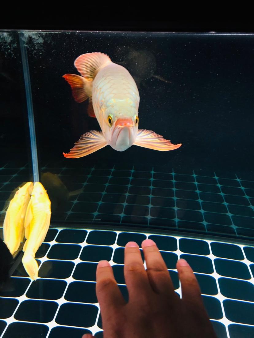 昆明水族店关于龙鱼七鳍的拉长 昆明龙鱼论坛 昆明龙鱼第2张