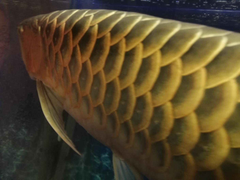 长沙银龙批发龙鱼鳞片是不是充血了 长沙龙鱼论坛 长沙龙鱼第5张