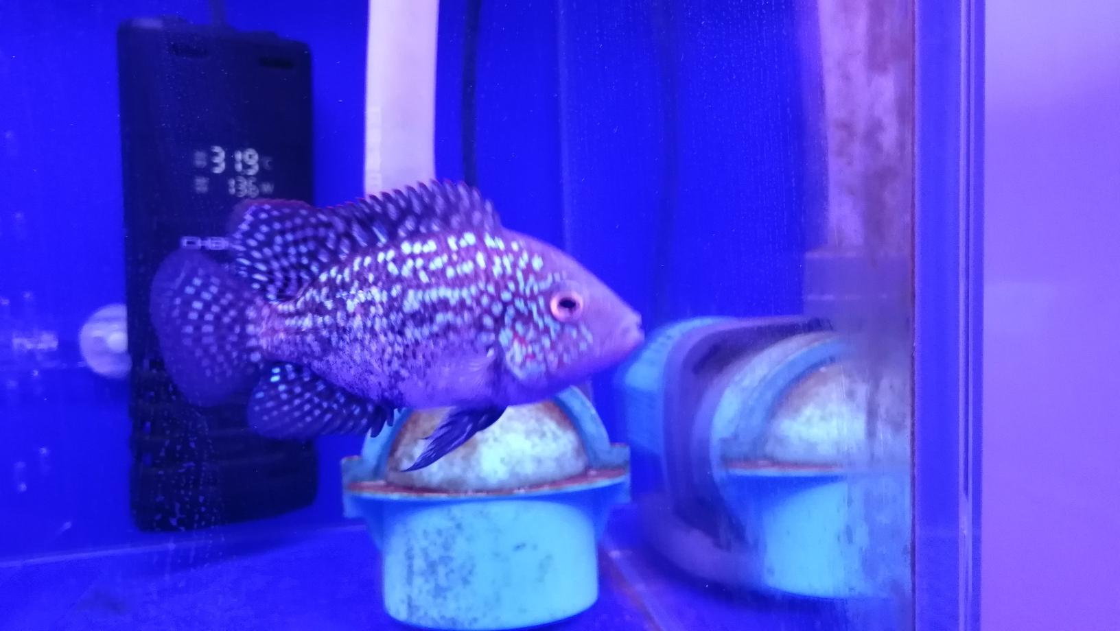 德萨起沙了该怎么养护呐? 银川水族批发市场 银川龙鱼第2张