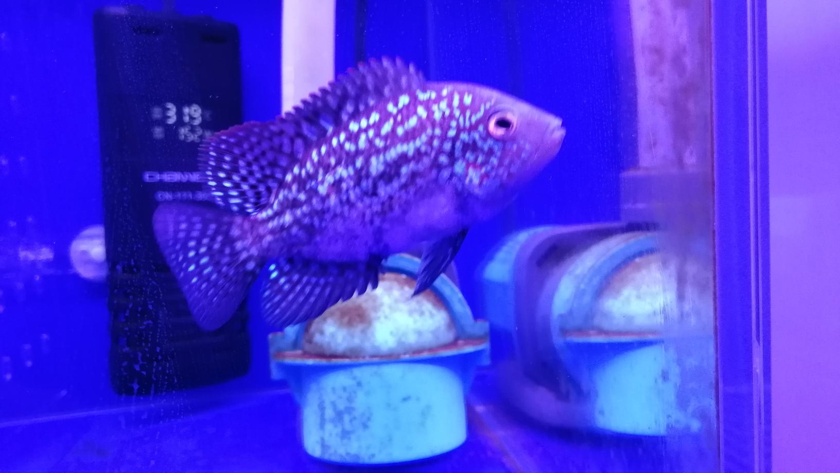 德萨起沙了该怎么养护呐? 银川水族批发市场 银川龙鱼第3张