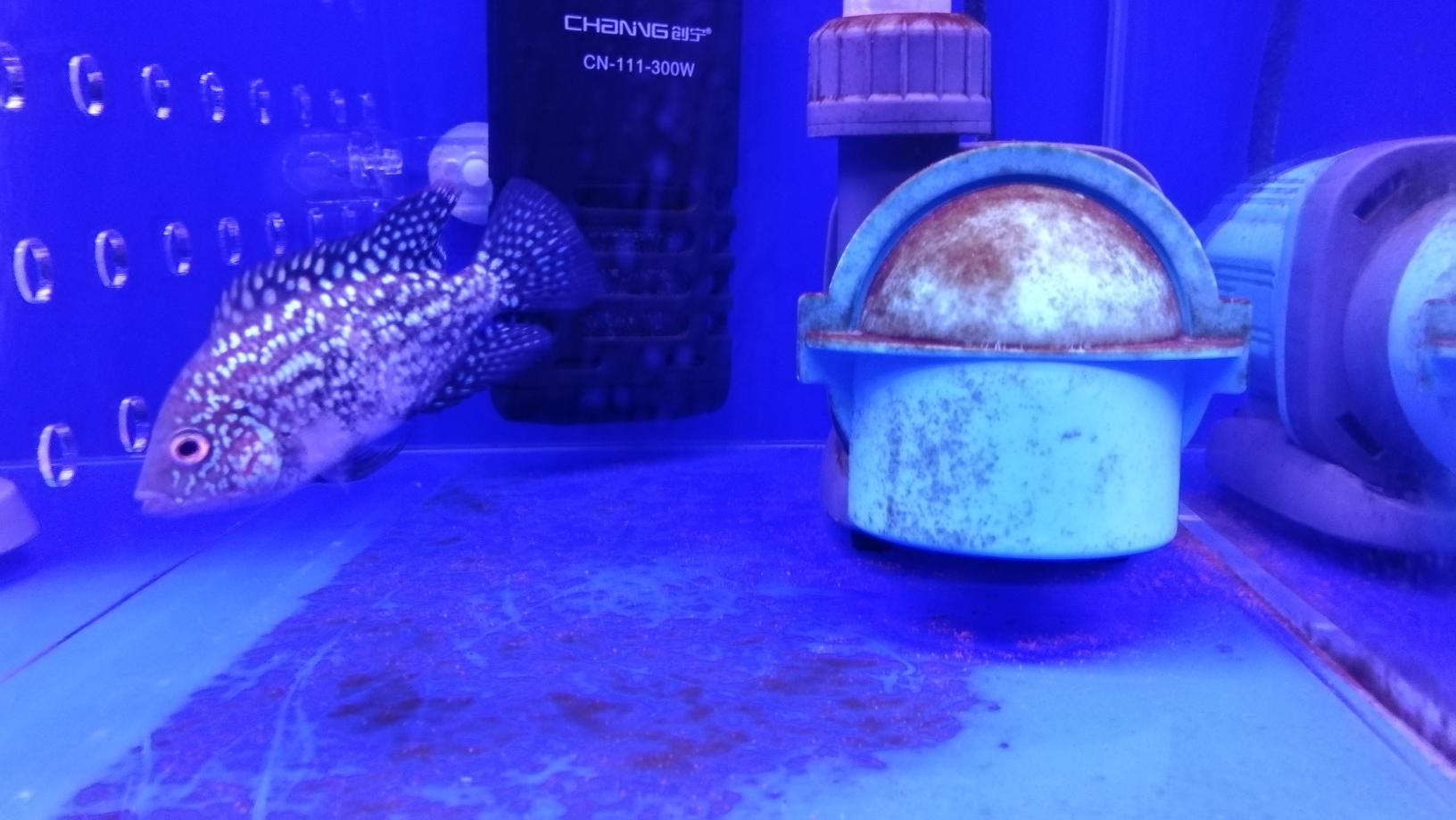 德萨起沙了该怎么养护呐? 银川水族批发市场 银川龙鱼第1张