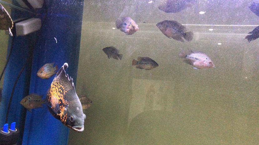 打卡45天 乌鲁木齐水族批发市场 乌鲁木齐龙鱼第9张