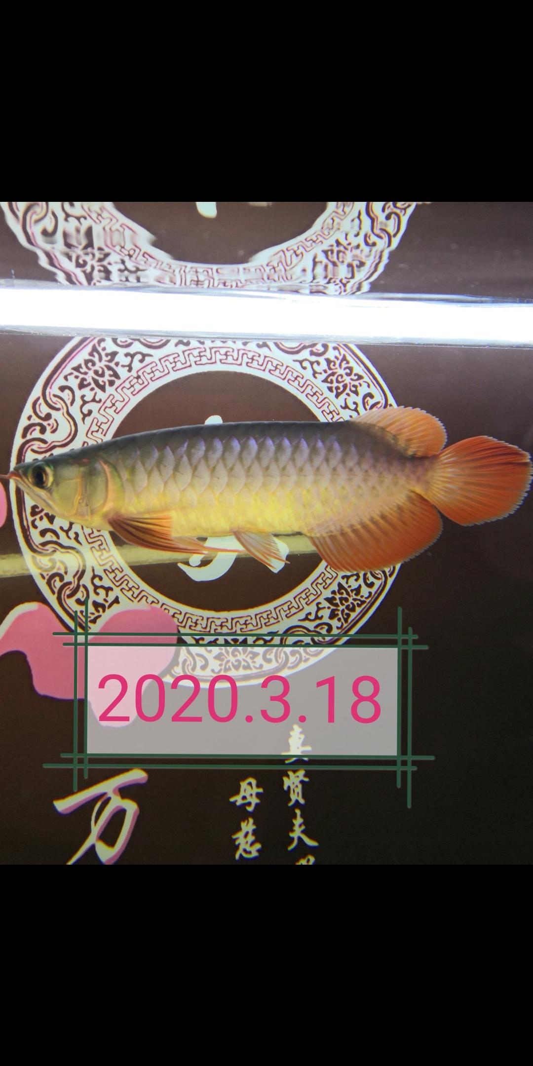 郑州玫瑰银板鱼怎么养大鱼住别墅小鱼再入缸 郑州龙鱼论坛 郑州龙鱼第4张