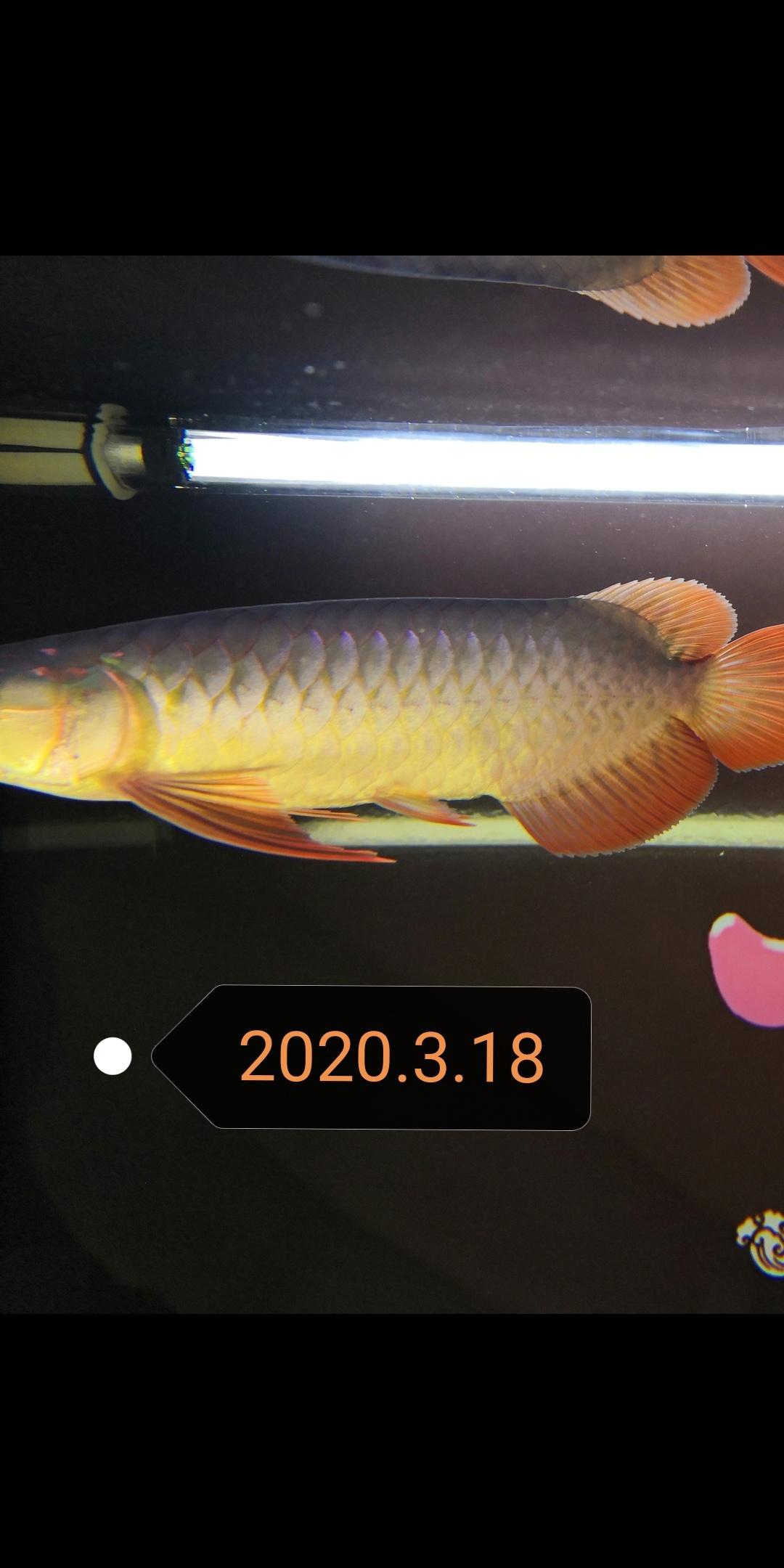 郑州玫瑰银板鱼怎么养大鱼住别墅小鱼再入缸