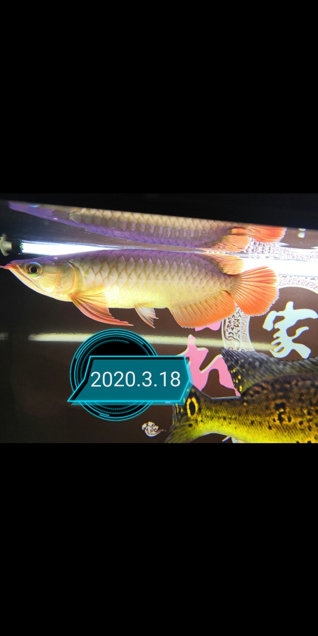 郑州玫瑰银板鱼怎么养大鱼住别墅小鱼再入缸 郑州龙鱼论坛 郑州龙鱼第3张