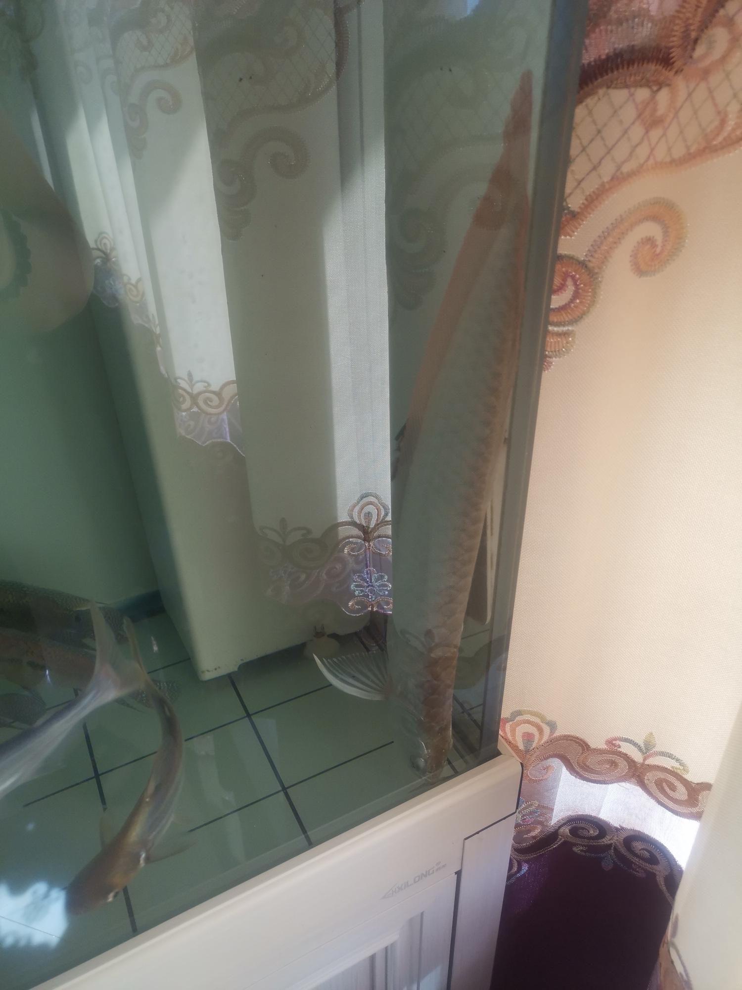 银龙莫名其妙的死了 杭州水族批发市场 杭州龙鱼第1张