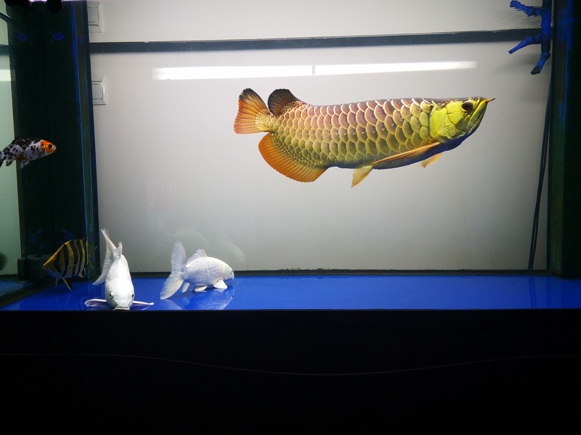 中国兰州天龙地虎 兰州水族批发市场 兰州龙鱼第1张