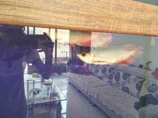 混养第七南通金龙过背天 观赏鱼常见疾病 南通水族批发市场第7张