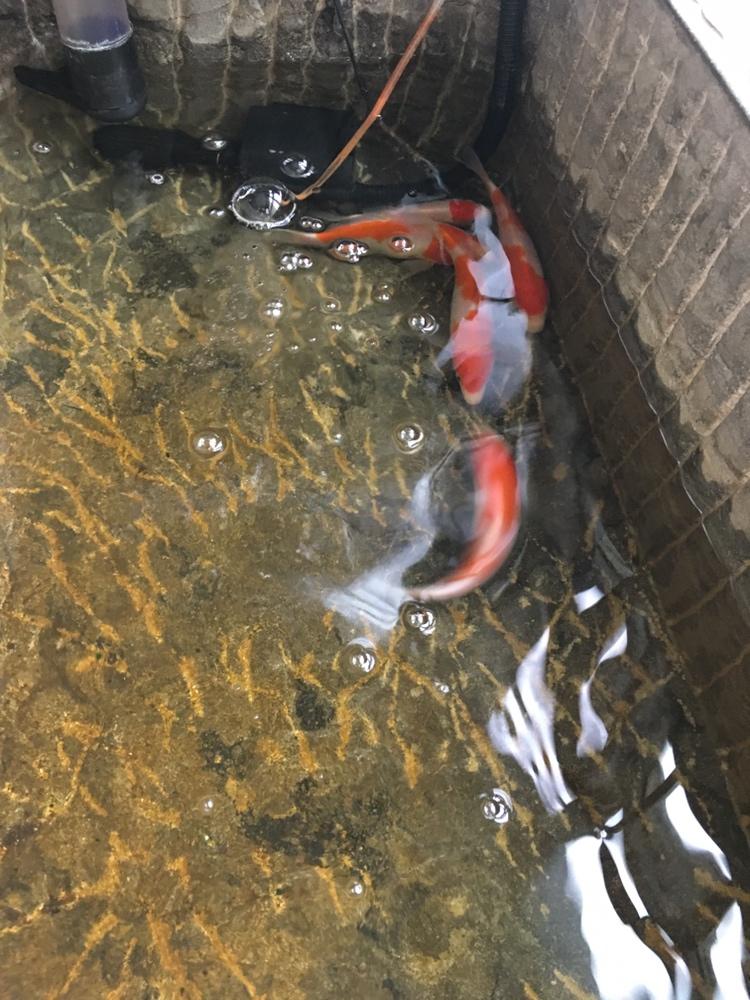 秀下小鱼儿 温州水族批发市场 温州龙鱼第2张