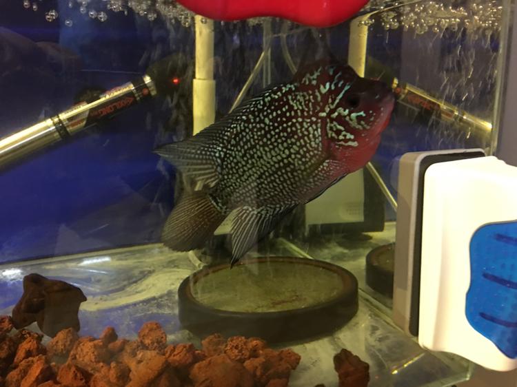 罗汉鱼开缸养水